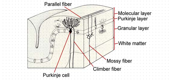 Cerebellar Neuronal Circuitry